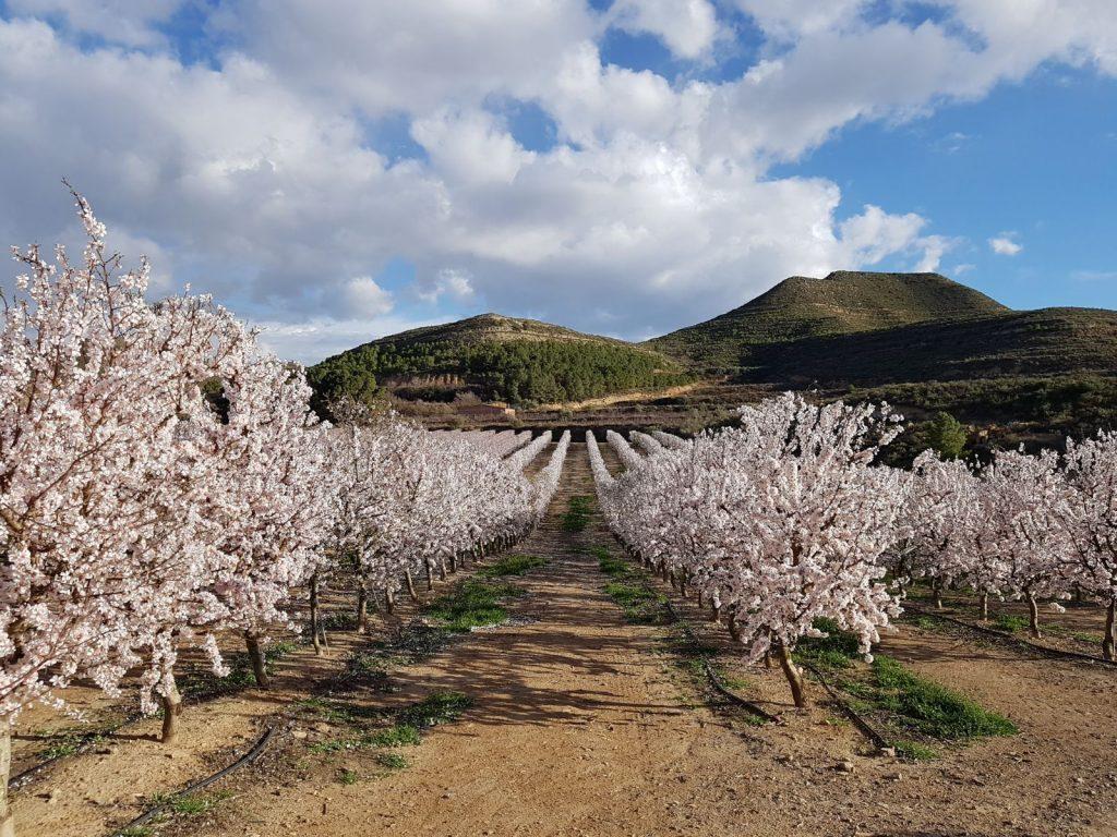 Imágen floración ASI - Imágen cedida por Agromillora Iberia
