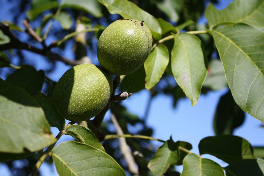 walnut 1320397