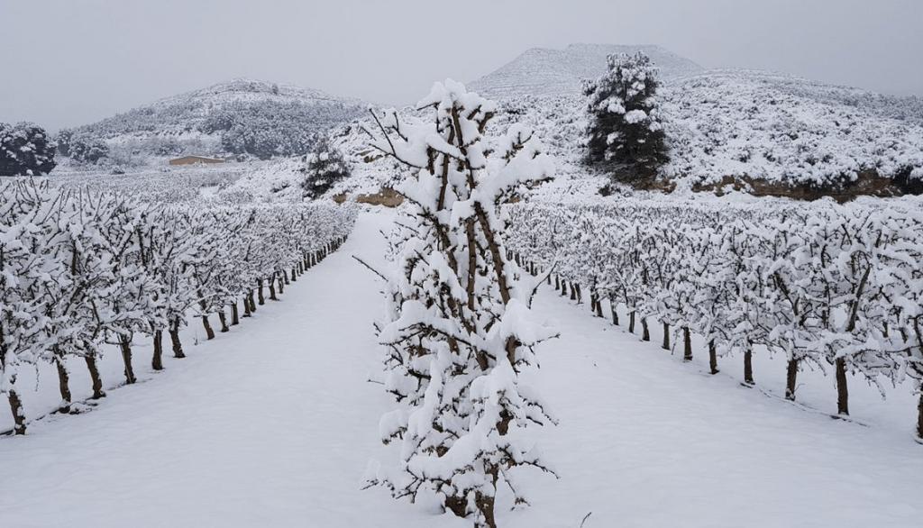 variedad de almendro bajo la nieve