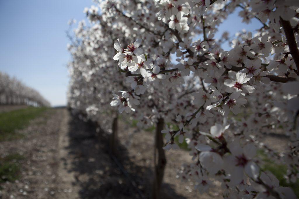 floración almendro