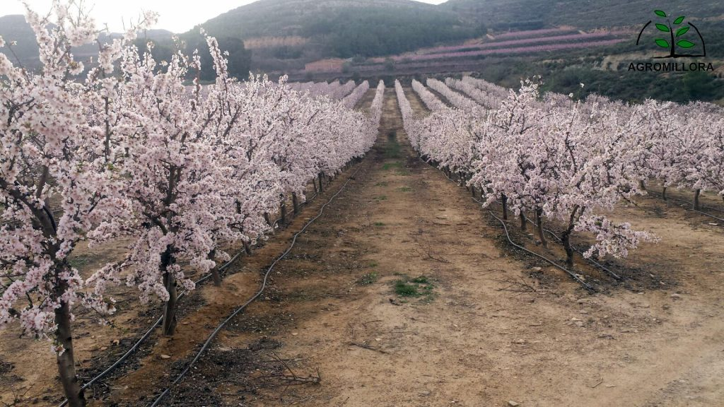 floración de almendro en seto