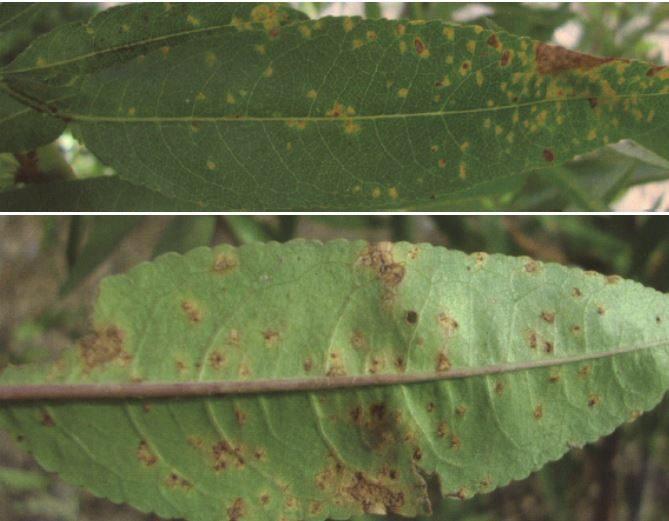 enfermedades del almendro roya