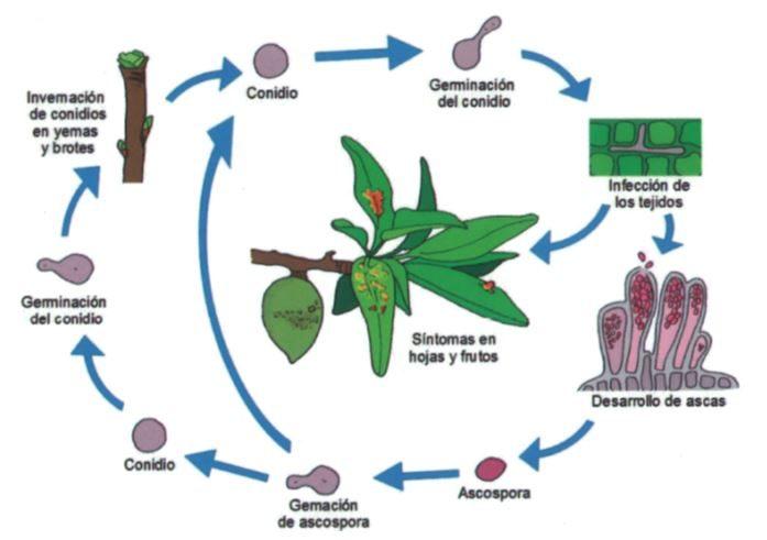 ciclo del hongo de la abolladura