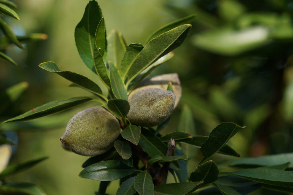 fruto cuajado en ramo