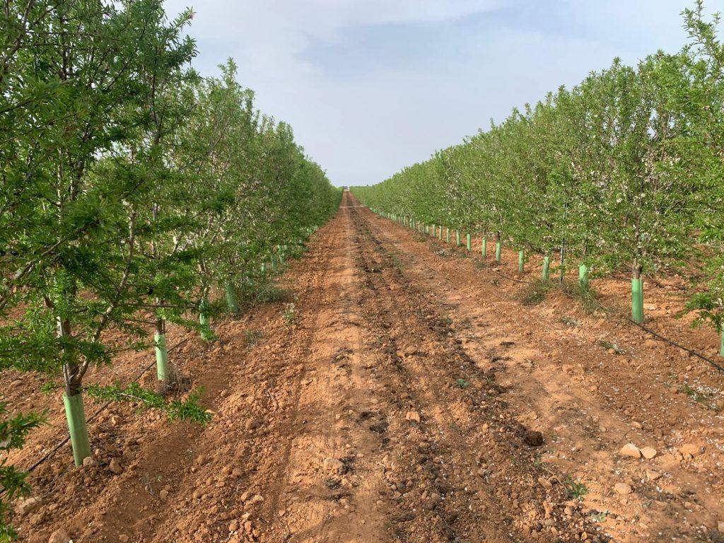 riego deficitario en plantacion de almendro