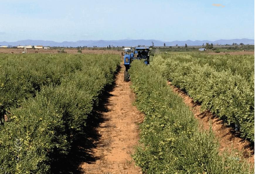 vendimiadora en olivar en seto cultivo rentable