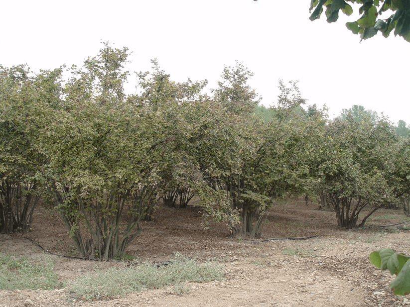 cultivo del avellano