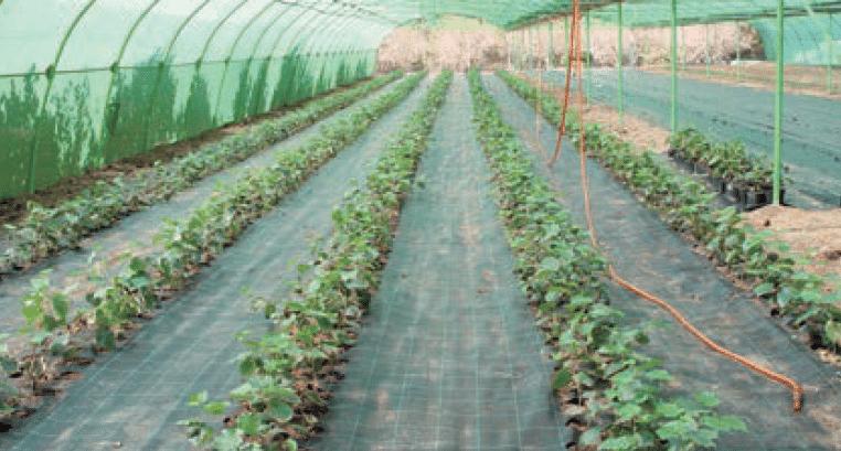 variedades de avellano en seto